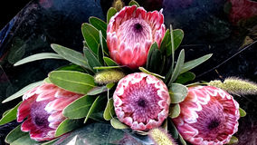 Queen Protea, protea magnifica Royalty Free Stock Photography