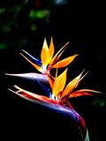 Queen's bird-of-paradise. Two beautiful queen's bird-of-paradise flowers Royalty Free Stock Photo