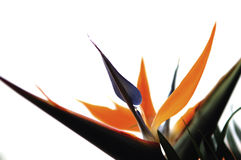Queen's bird-of-paradise. Beautiful queen's bird-of-paradise flowers Stock Photography