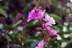 Queen's flower Stock Photography