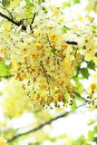`Queen`s Hospital White` variety of the Rainbow Shower Tree. Close up image of the flowers of a `Queen`s Hospital White` variety of the Rainbow Shower Tree Stock Photos