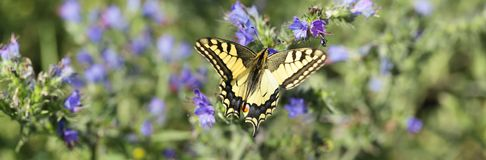 Queen`s Papilio Papilio machaon. Fabulous in its beauty Queen`s Papilio papilio machaon resting among the blue flowers Stock Image