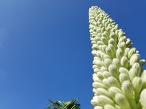 Agave flower bud. Queen`s Victoria Agave`s flower buds Stock Images