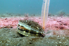 Free Queen Scallop & Slender Sea Pen Royalty Free Stock Images - 95255589