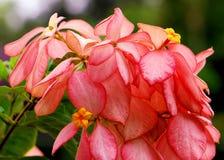 Queen Sirikit flower Royalty Free Stock Image