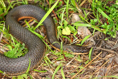 Queen Snake (Regina septemvittata) Royalty Free Stock Photo