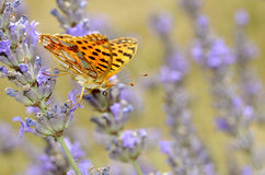 Queen of Spain Fritillari butterfly on lavender Royalty Free Stock Photos