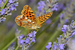 Queen of Spain Fritillari butterfly on lavender Royalty Free Stock Photo