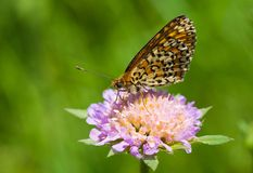 Queen of Spain Fritillary butterfly. Royalty Free Stock Images