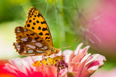 Queen of Spain fritillary. Butterfly on flower Royalty Free Stock Images