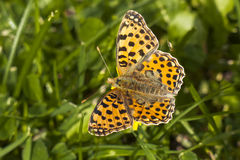 Queen of Spain Fritillary butterfly, Issoria lathonia. Sitting on a blade of grass with wings open Stock Photo