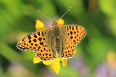 Queen of Spain Fritillary. Butterfly sitting on the yellow flowering plant Stock Photos