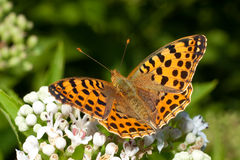 Queen of Spain fritillary / Issoria lathonia. On a flower - close-up Stock Photo