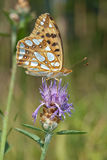Queen of Spain fritillary Issoria lathonia. Pollinating a brown knapweed Centaurea jacea Royalty Free Stock Images