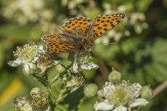 Queen of Spain fritillary(Issoria lathonia). A Queen of Spain fritillary is sitting on a white blossom Royalty Free Stock Photo