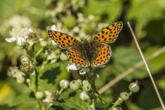 Queen of Spain fritillary(Issoria lathonia). A Queen of Spain fritillary is sitting on a white blossom Royalty Free Stock Photography