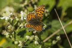 Queen of Spain fritillary(Issoria lathonia). A Queen of Spain fritillary is sitting on a white blossom Royalty Free Stock Images