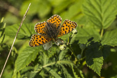 Queen of Spain fritillary(Issoria lathonia). A Queen of Spain fritillary is sitting on a white blossom Stock Photos