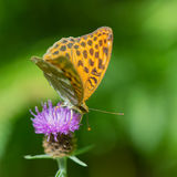 Queen of Spain fritillary on thistle Stock Photos