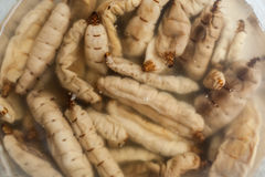 Queen termite for sell as food in rural open market. Thai wild and amazing food Stock Image