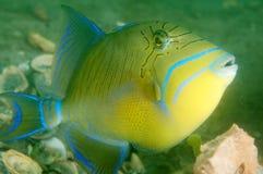 Queen Triggerfish. Balistes Vetula, picture taken in Palm Beach County,Florida Stock Photos