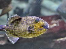 Queen triggerfish. Swimming in aquarium Royalty Free Stock Photo
