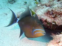 Queen Triggerfish Royalty Free Stock Photo