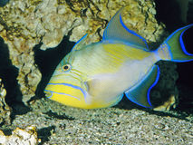 Queen triggerfish aquarium Stock Photo