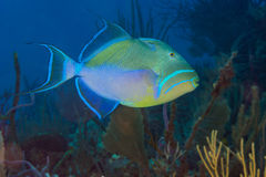 Queen triggerfish. {Balistes vetula} swimming over a coral reef in the Bahamas. December Stock Photography