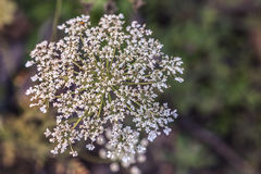 Queen Victoria Lace Royalty Free Stock Image