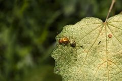 Queen of weaver or green or orange ant resting on green leaf. Queen of weaver or green or orange ant  Oecophylla smaragdina  resting on green leaf Royalty Free Stock Photos