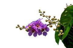 Queen& x27; flor de s Foto de Stock Royalty Free