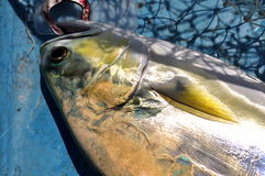 Queenfish in the hook and fishing net Royalty Free Stock Image
