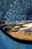 Queenfish in the hook and fishing net Royalty Free Stock Photography