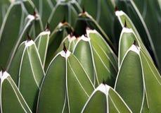Queens-Victoria-agave Fotografie Stock