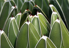Queens-victoria-agave Stock Photos