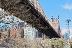 Queensboro Bridge and Roosevelt Island tramway in cherry blossom. Stock Photo