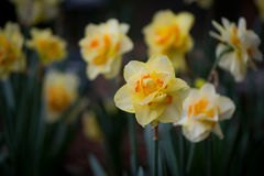 Queensday Daffodil Blooming Royalty Free Stock Image