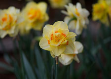 Queensday Daffodil Centered Stock Image