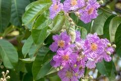 Queenskreppmyrte blüht oder die Blume der Königin, Lagerstroemia Lizenzfreie Stockbilder