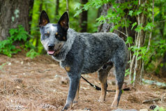 Queensland Blue Heeler Cattle Dog. Merle, outdoor pet photography, humane society adoption photo, Walton County Animal Shelter, Georgia stock image