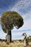 Queensland bottle tree with emu in the foreground. In outback Australia stock images