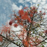 Queensland Flame Tree Stock Photo