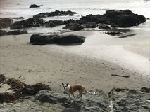 Queensland heeler australian cattle dog on cayucos beach with rocks. The Australian Cattle Dog is an extremely intelligent, active, and sturdy dog breed Royalty Free Stock Images