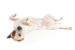 Queensland Heeler Dog Laying on Back. A Queensland Heeler Catahoula Leopard mixed breed dog laying on his back against a white backdrop Royalty Free Stock Photos
