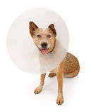 Queensland Heeler Dog Wearing A Cone Royalty Free Stock Photography