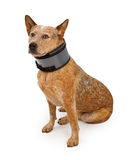 Queensland Heeler Dog Wearing A Neck Brace Royalty Free Stock Image