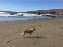 Queensland-heeler setzen australischer Viehhund auf cayucos mit Felsen auf den Strand stockfoto