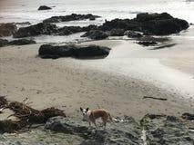 Queensland-heeler setzen australischer Viehhund auf cayucos mit Felsen auf den Strand lizenzfreie stockbilder