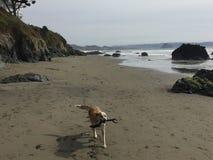 Queensland-heeler setzen australischer Viehhund auf cayucos mit Felsen, Klippe, Täuschung und Bäumen auf den Strand lizenzfreies stockfoto
